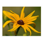 Black Eyed Susan Solitude Postcard