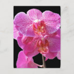 Blooming Pink Orchids Postcard