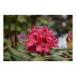 Blooming Red Rhododendron Blossoms Flowering Poster