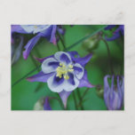 Blue and White Columbine Flowers  Postcard