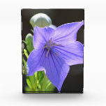 Flowering Balloon Flowers Award