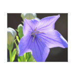 Flowering Balloon Flowers Canvas Print
