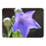 Flowering Balloon Flowers Card