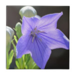 Flowering Balloon Flowers Ceramic Tile