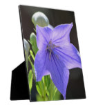 Flowering Balloon Flowers Plaque