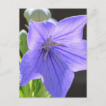 Flowering Balloon Flowers Postcard