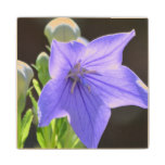 Flowering Balloon Flowers Wood Coaster