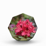 Flowering Red Rhododendron Bush in Bloom Acrylic Award