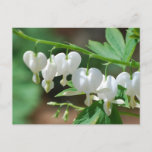Flowering White Bleeding Heart Postcard