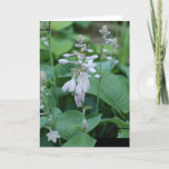 Hosta Plant  Greeting Card