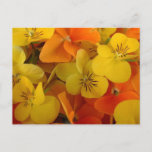 Orange and Yellow Johnny Jump Up Postcard
