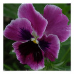 Pansy Picture Photo Print
