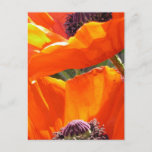 Popping Poppies  Postard Postcard