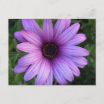 Pretty Aster Flower  Postcard
