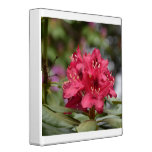 Pretty Blooming Red Rhododendron Blossom 3 Ring Binder