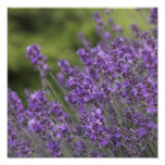 Pretty Lavender Fields Poster