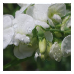 Pretty White Sweet Pea Flowers Card