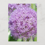 Purple Allium Flowers Postcard