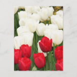 Red and White Tulips Postcard