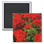 Red Geraniums Magnet