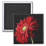 Red Gerber Daisy Square Magnet