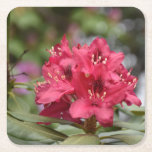 Red Rhododendron Bush in Bloom Square Paper Coaster