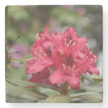 Red Rhododendron Bush in Bloom Stone Coaster