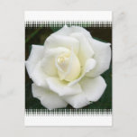 Rose Meanings Postcard