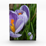 Striped Crocus Award