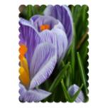 Striped Crocus Invitation
