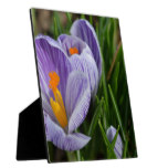 Striped Crocus Plaque