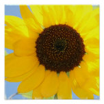 Sunflower Picture Print