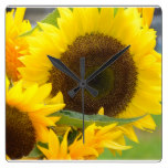 Sunflowers in Bloom Square Wall Clock