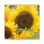 Sunflowers in Bloom Wood Coaster