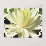 White Water Lily Postcard