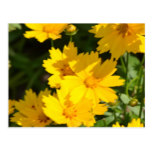 Yellow Coreopsis Postcard